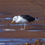 photo of Great Black-backed Gull
