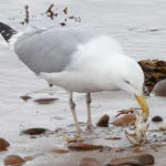 Photo of Herring Gull feeding on blue crab