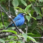 photo of male Indigo Bunting