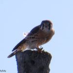 photo of kestrel with large insect