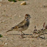 photo of Lark Sparrow