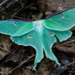 photo of Luna Moth