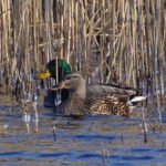 photo of male and female mallard in winter