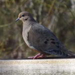 photo of Mourning Dove
