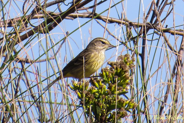 photo of fall migrating Palm Warbler