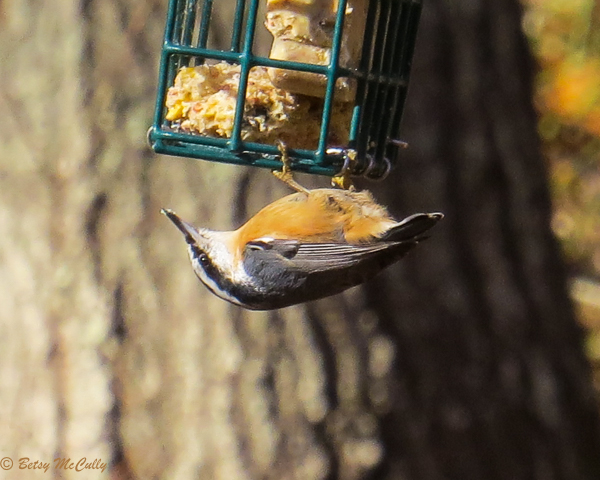 photo of Red-breasted Nuthatch on suet feeder