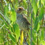 photo of Saltmarsh Sparrow