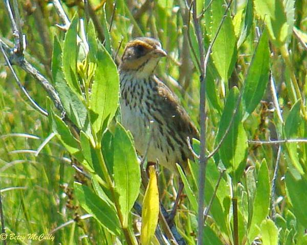 photo of Salt Marsh Sparrow