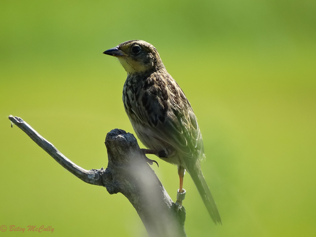 Photo of Seaside Sparrow