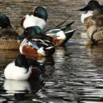 photo of Northern Shoveler resting flock