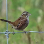 photo of Swamp Sparrow