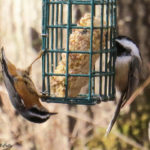 photo of Black-capped Chickadee and Red-breasted Nuthatch on suet feeder