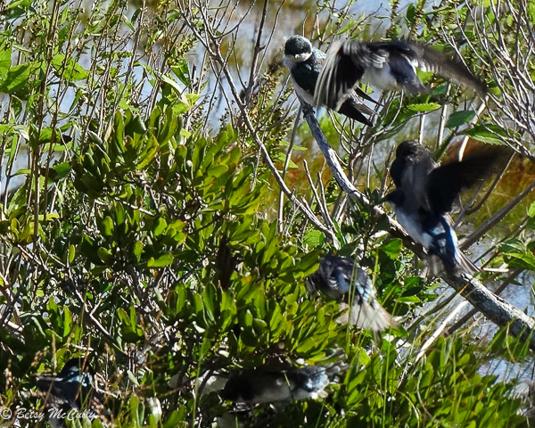 Photo of Tree Swallows feeding on bayberries