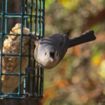 photo of Tufted Titmouse at suet feeder