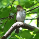 Photo of Veery