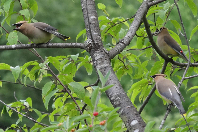 photo of Cedar Waxwings displaying