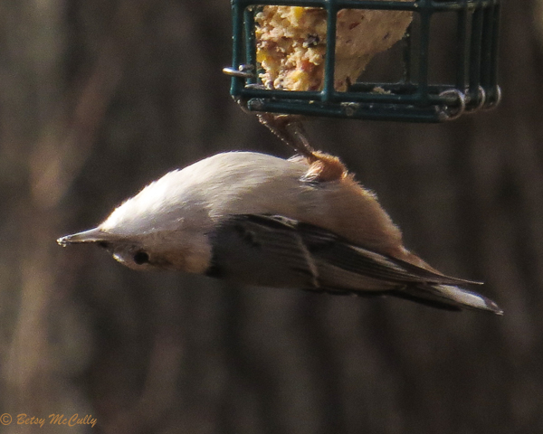 photo of White-breasted Nuthatch on feeder