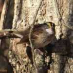 photo of White-throated Sparrow