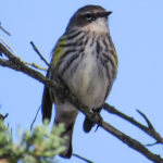photo of Yellow-rumped warbler front