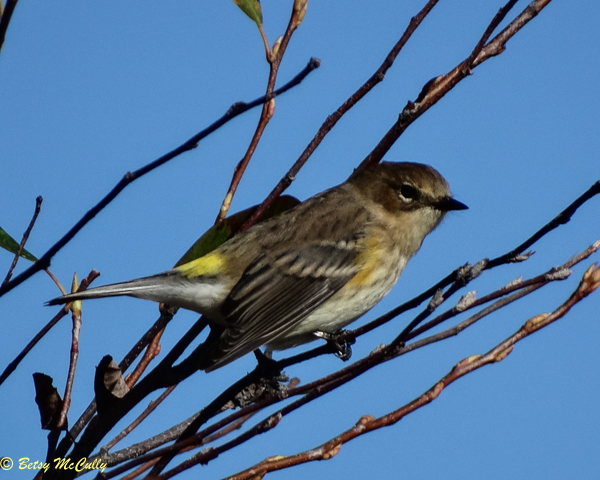 photo of Yellow-rumped Warbler