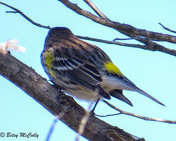 Photo of Yellow-rumped Warbler showing rump