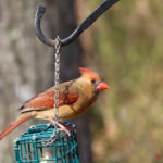 photo of female cardinal on backyard suet feeder
