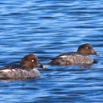 photo of female and juvenile Common Goldeneye on pond