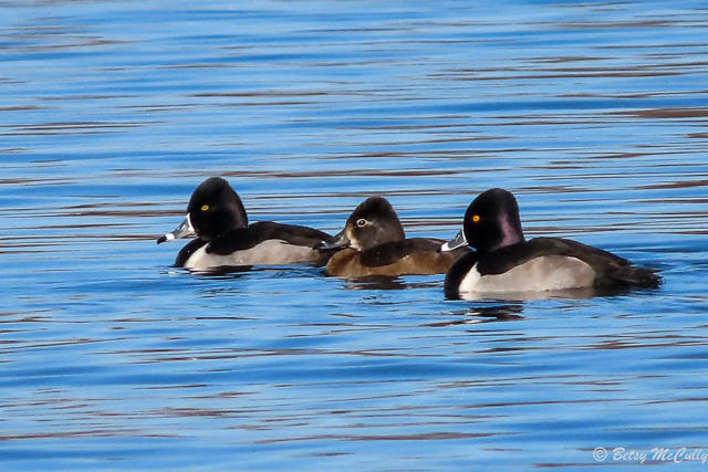 photo of two males and one female Ring-necked Ducks on pond
