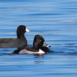 Ring-necked duck and American Coot on pond