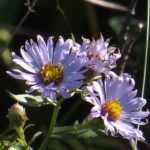 photo of New York Aster