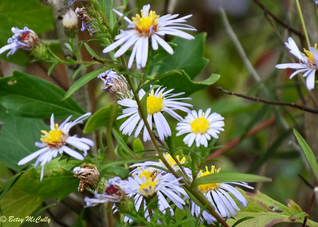 photo of Perennial Salt Marsh Aster
