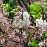 photo of Beach Plum flowers