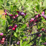 photo of Beach Plum fruits