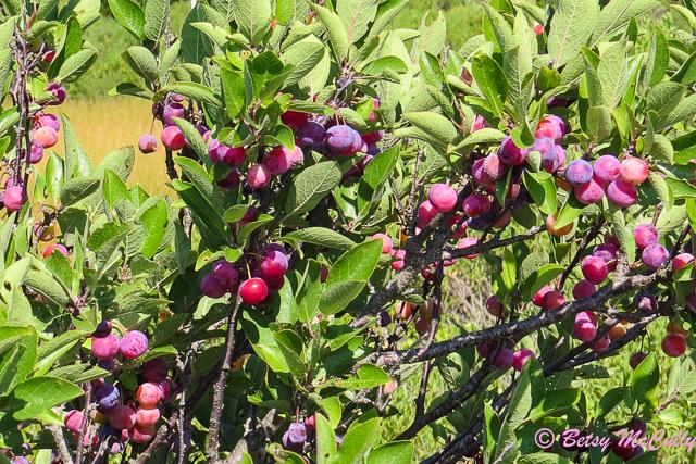 photo of Beach Plum fruits