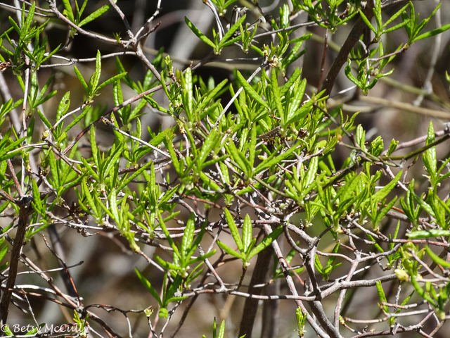 photo of Bog-Rosemary