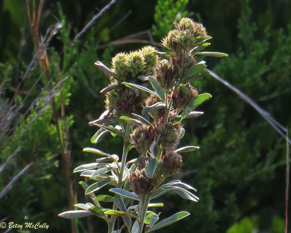 photo of Round-headed Bush-clover in seed
