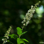 photo of Sweet Pepperbush in flower