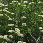 Photo of Black Elderberry in flower