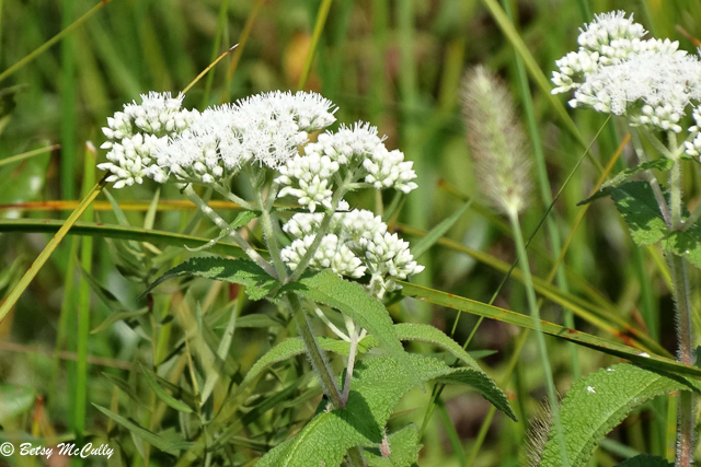 photo of boneset thoroughwort