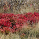 photo of glasswort in fall