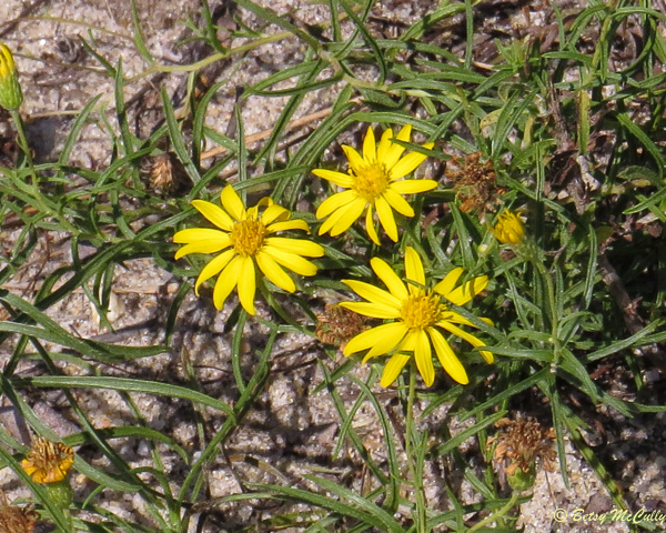 photo of Sickle-leaved Golden-aster