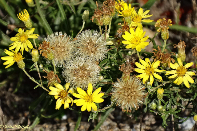 photo of Sickle-leaved Golden-aster flowers and seeds