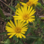 photo of Shaggy Golden-aster