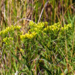 photo of Coastal Plain Flat-topped Goldenrod