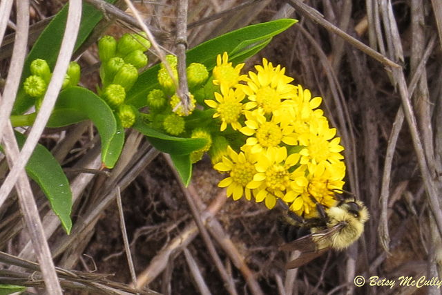 photo of Seaside Goldenrod with bee
