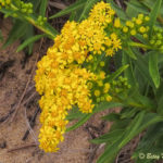 photo of Seaside Goldenrod with beetle