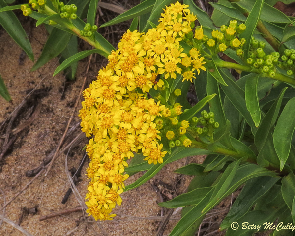 photo of Seaside Goldenrod and beetle