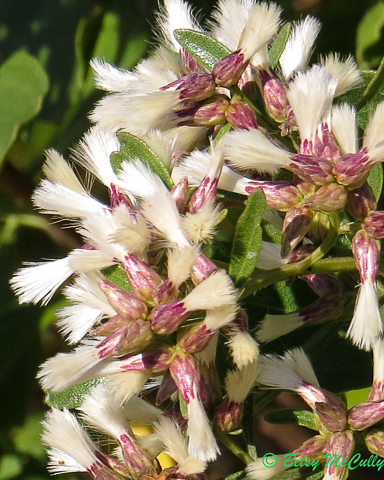 photo of Groundsel Tree female fllowers