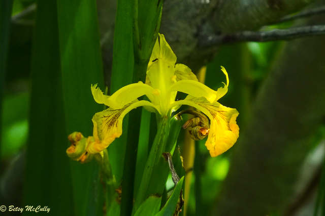 photo of Yellow Flag Iris