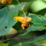 photo of Spotted Jewelweed with pollinator